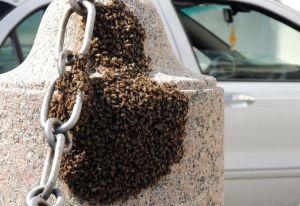 Milano, panico per uno sciame di insetti