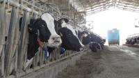 Farmaci alle mucche per produrre più latte, anche in Sicilia