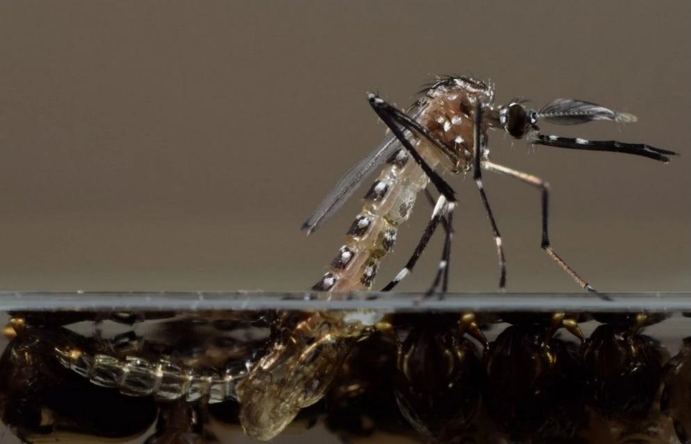 Zanzare assassine ogm per combattere le malattie tropicali