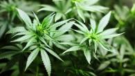 """Cannabis: presto una legge per legalizzarla, """"adesioni bipartisan"""""""